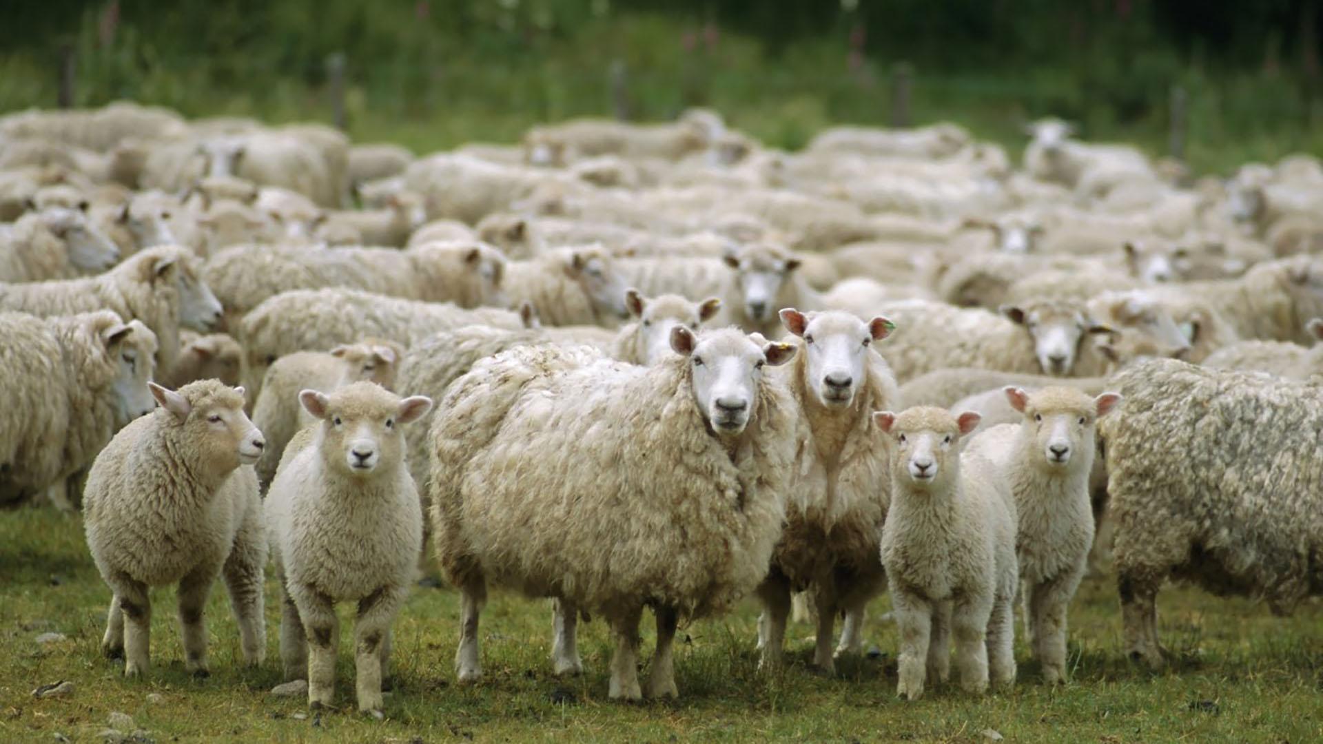 SENASA: Uso de productos veterinarios para ectoparásitos en ovinos.